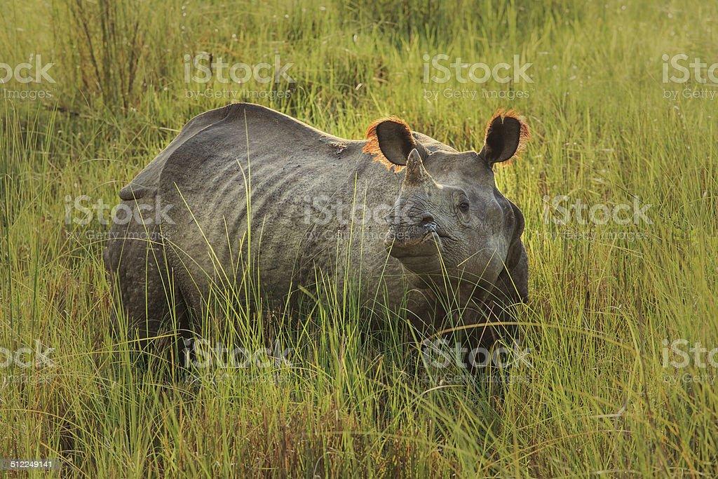 Single horned rhino wiki