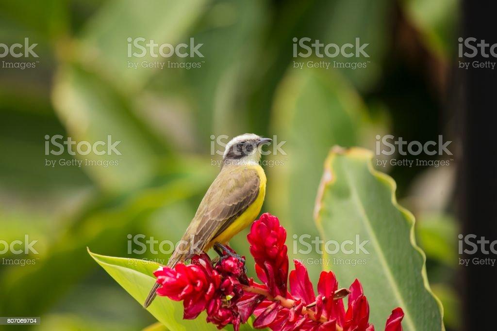 Great Kiskadee (Pitangus sulphuratus)-17 stock photo
