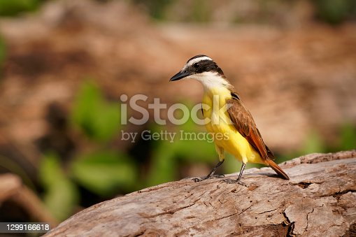 Great Kiskadee - Pitangus sulphuratus  passerine yellow, white, black and brown bird in the tyrant flycatcher family Tyrannidae, breeds in open woodland and around human habitation.