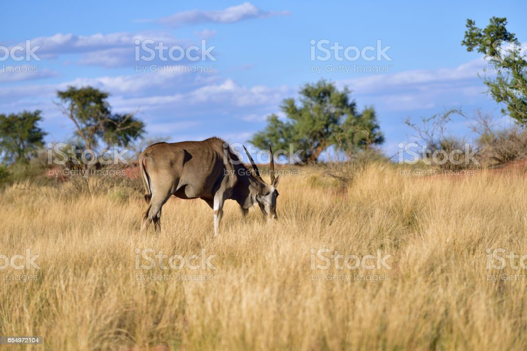 Great kudu male antelope - foto de acervo