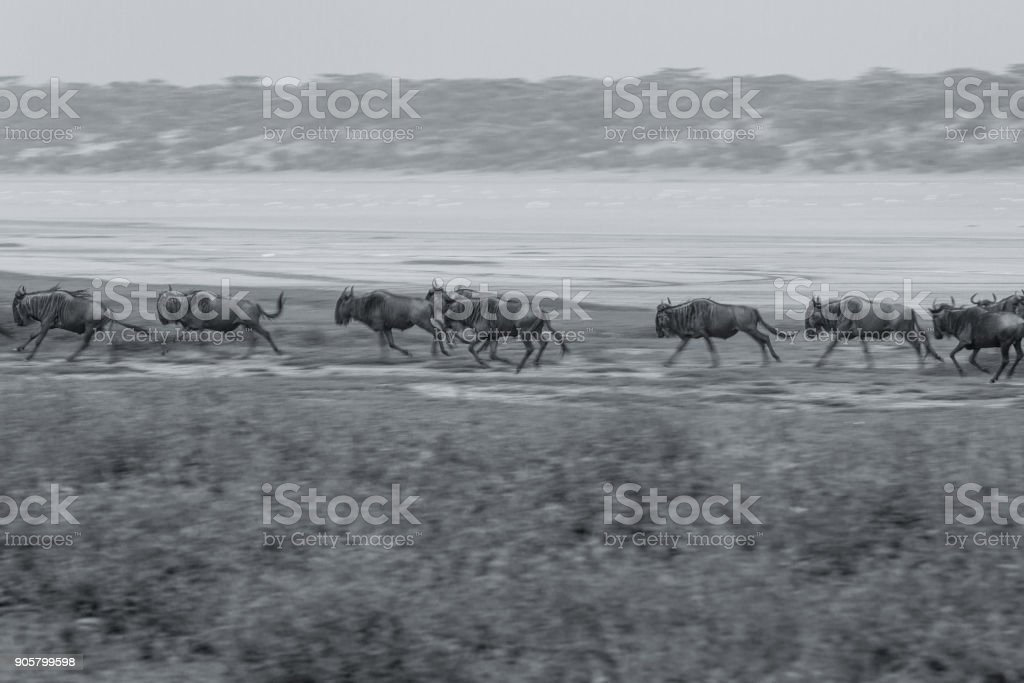 Great Migration of Serengeti in P&B stock photo