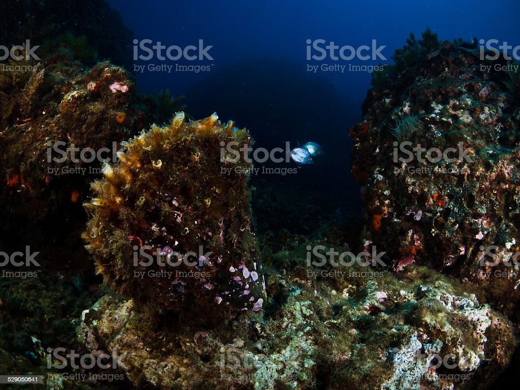 Grande molusc em Mediterraenan mar. - fotografia de stock
