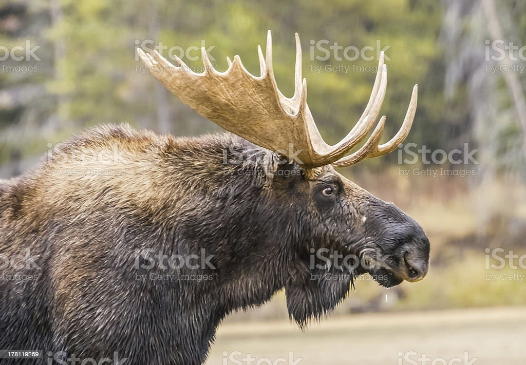 Great Moose Portrait royalty-free stock photo