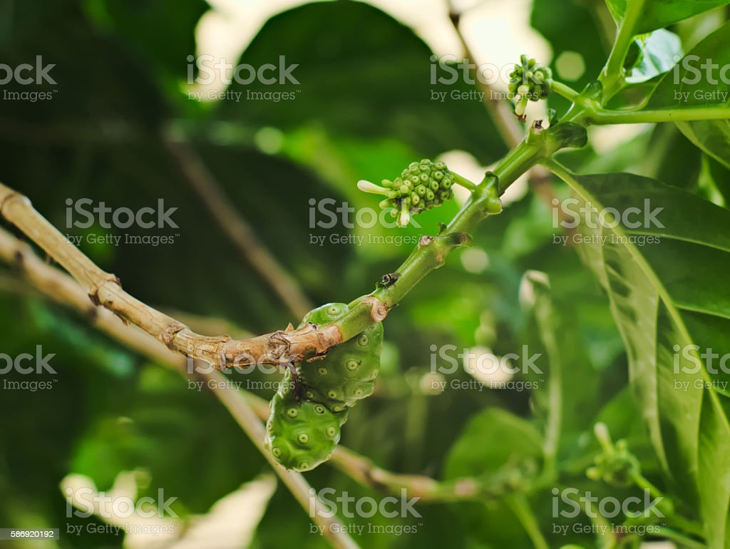 Great morinda, Tahitian noni, Indian mulberry, or Beach mulberry stock photo