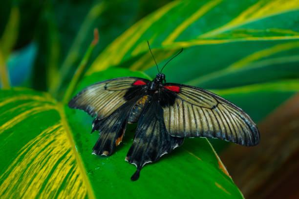 Great mormon butterfly picture id1128335260?b=1&k=6&m=1128335260&s=612x612&w=0&h=scr9qojzmbnbxlfpwoekppgkxycmmop8abocs1fwzpi=