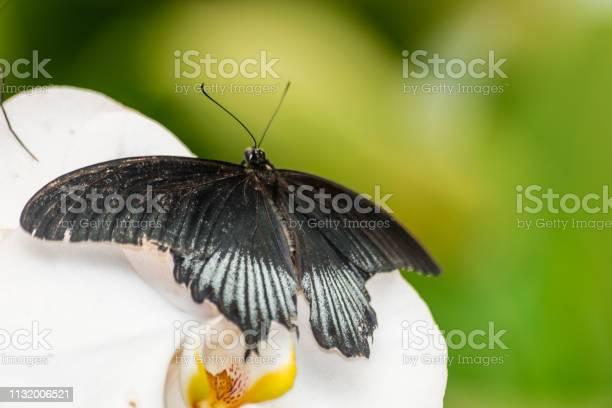 Great mormon butterfly picture id1132006521?b=1&k=6&m=1132006521&s=612x612&h=9tmdgc asgmplje6mioej8sgdsr4ciejlfig44nnjqa=