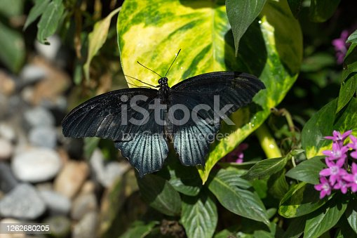 (Papilio memnon) Great Mormon butterfly  on a leaf