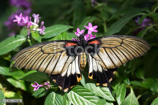 Great Yellow Mormon butterfly (Papilio lowi or Papilio lowii) on leaf