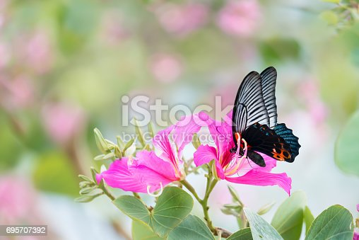 Butterfly on flower. Great mormon butterfly sucking nectar on Bauhinia flower or orchid tree flower