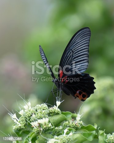 Great Mormon (Papilio memnon) butterfly sucking nectar of a tropical flower in Thailand