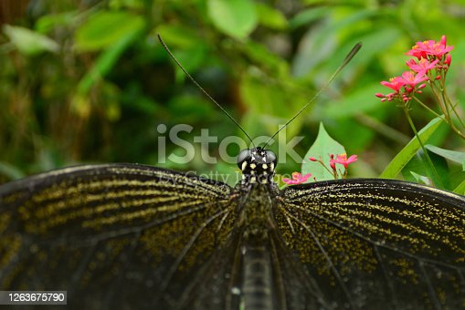 Butterfly garden: Aerial view of one black great mormon butterfly