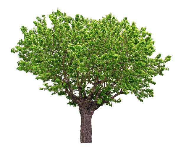 great mulberry tree. white background. - amoreiras imagens e fotografias de stock