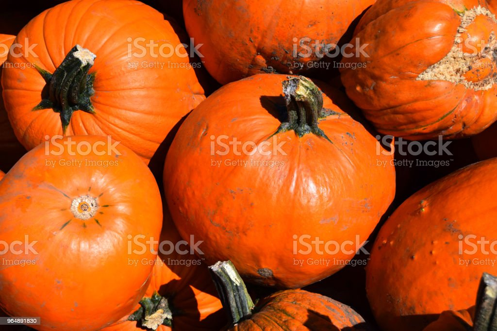 great orange pumpkins for halloween royalty-free stock photo