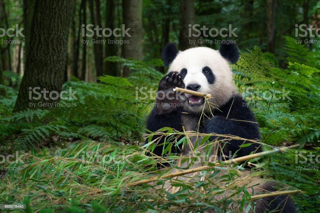 Great Panda bear sitting at the rainforest - Royalty-free Animal Themes Stock Photo