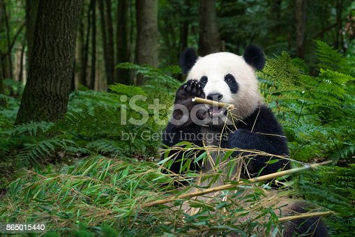 Beautiful Panda bear eating bamboo at the rainforest and wave