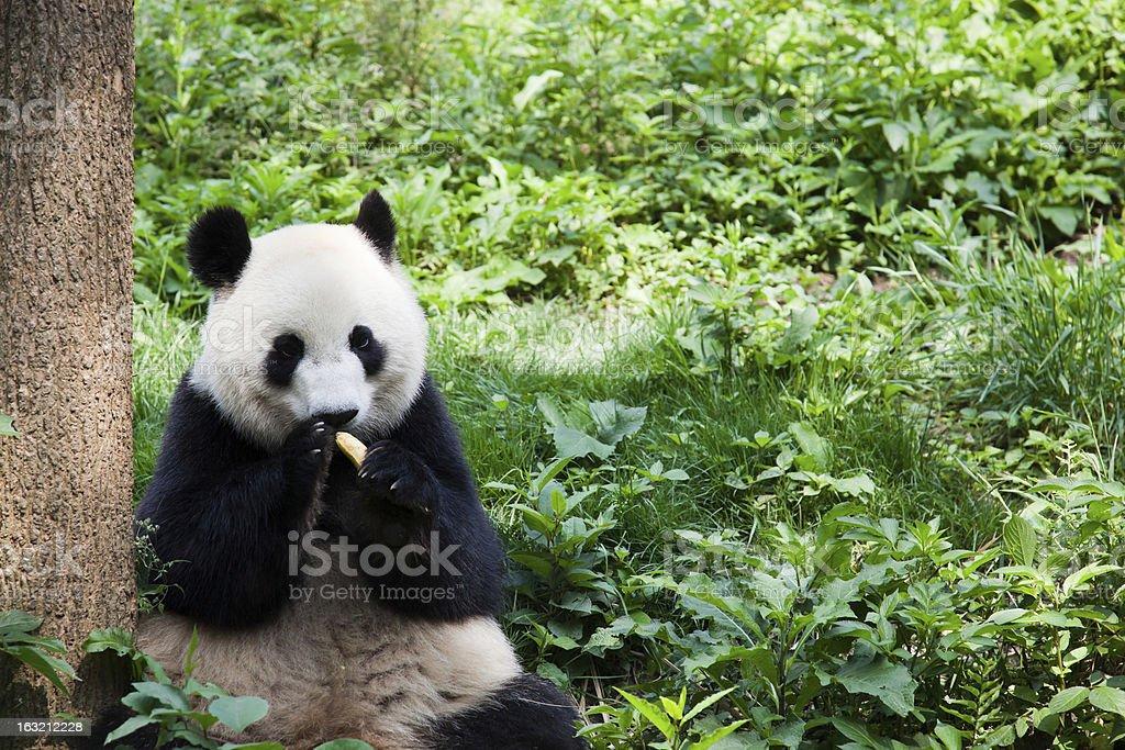 Great Panda eating banana - Chengdu, Sichuan Province, China stock photo