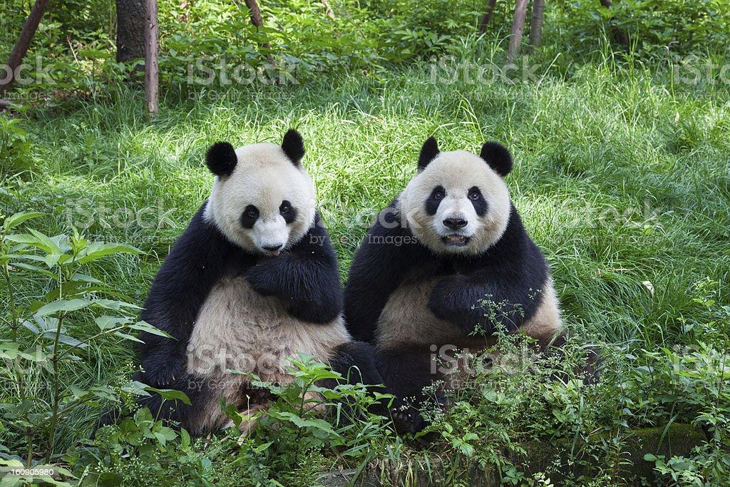Great Pandas en regardant la caméra, Chengdu, Sichuan, en Chine - Photo de Asie libre de droits