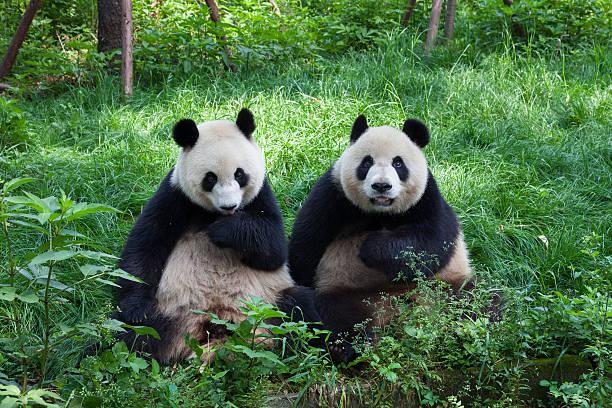 great pandas en regardant la caméra, chengdu, sichuan, en chine - panda photos et images de collection