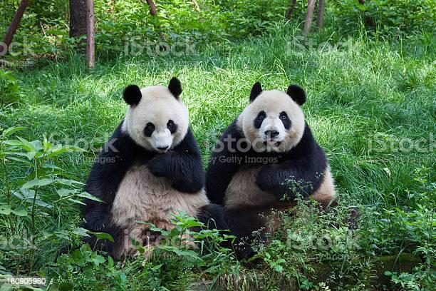 Photo libre de droit de Great Pandas En Regardant La Caméra Chengdu Sichuan En Chine banque d'images et plus d'images libres de droit de Asie