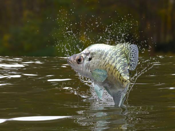 große muster crappie fische im fluss herausspringende 3d rendern - crappie angeln stock-fotos und bilder