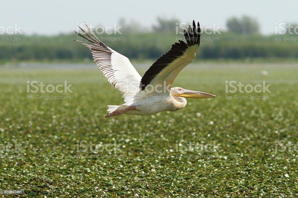 great pelican flying over marsh stock photo