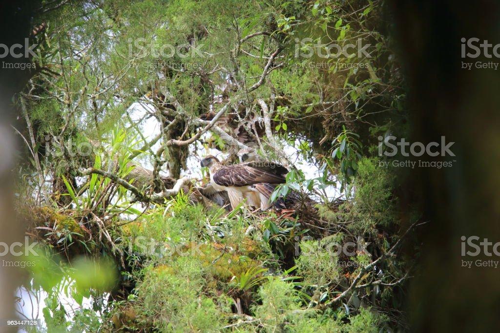 Great Philippine eagle (Pithecophaga jefferyi) nesting in Mindanao, Philippines - Zbiór zdjęć royalty-free (Bez ludzi)