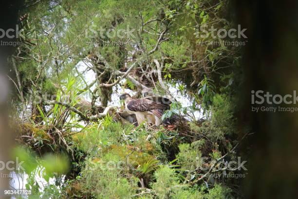 Wielki Orzeł Filipiński Gniazdowanie W Mindanao Filipiny - zdjęcia stockowe i więcej obrazów Małpożer