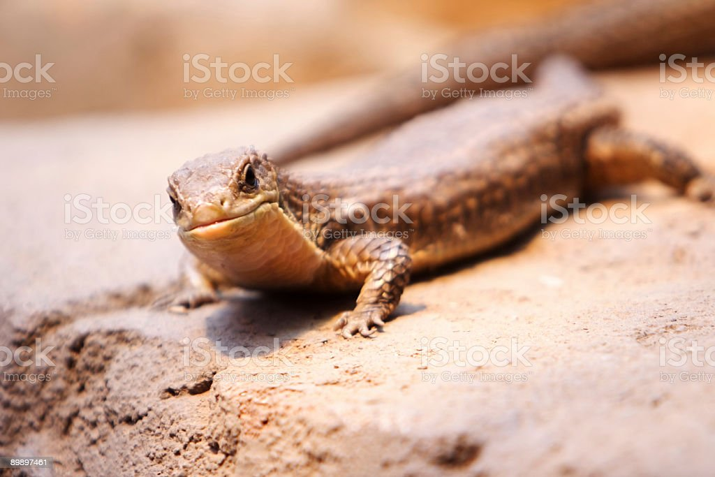Great plated lizard royalty-free stock photo