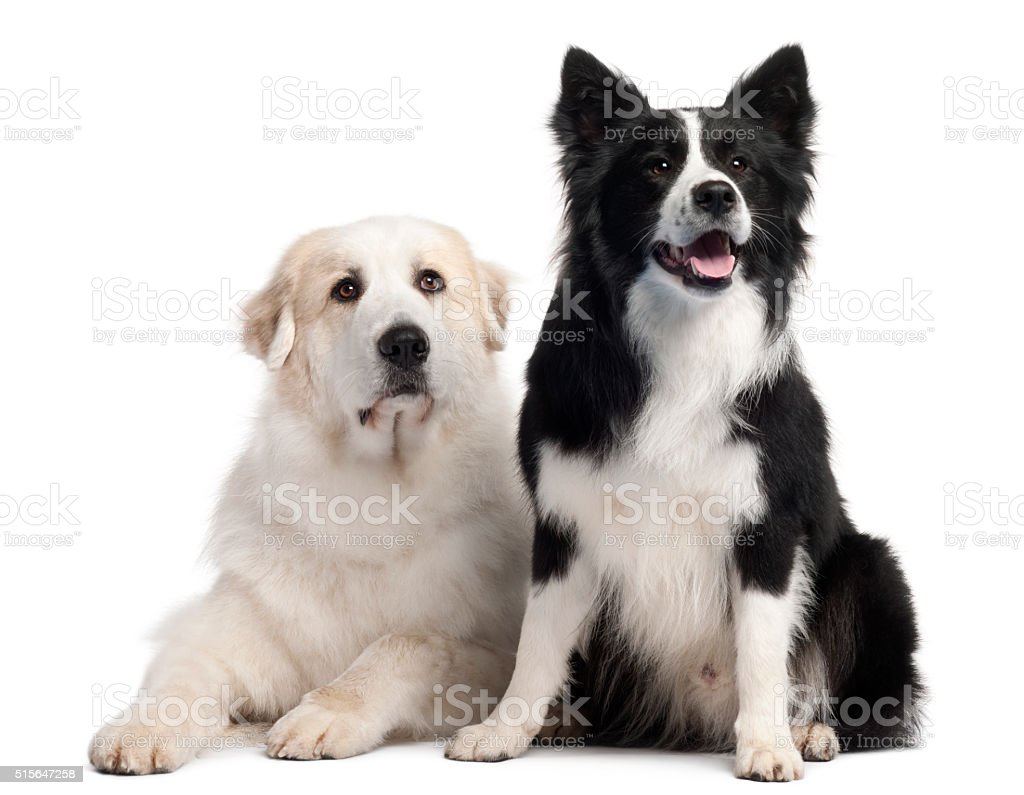 Great Pyrenees  and Border Collie, 2 years old, stock photo