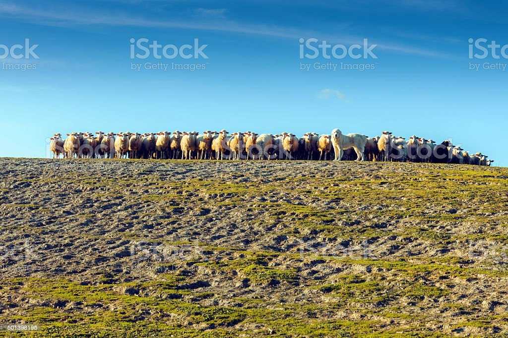 Great Pyrenees Dog Herding Sheep in Tuscany, Italy stock photo