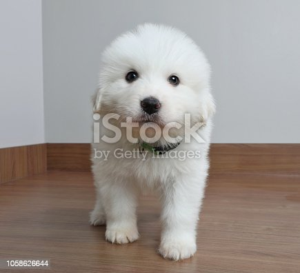 Great Pyrenees dog puppy in animal shelter
