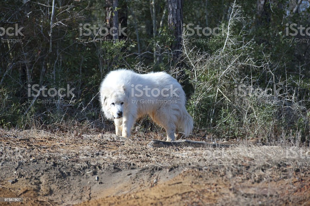 Great Pyrenees on Natural Terrain royalty-free stock photo