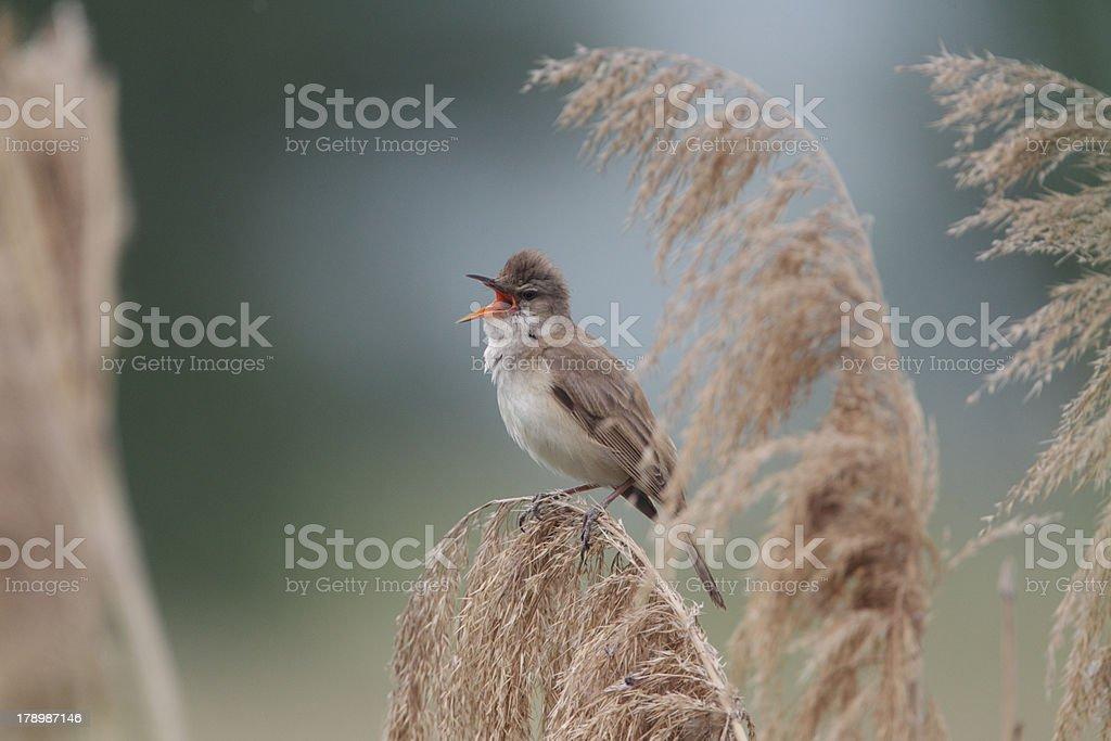 Great reed warbler, Acrocephalus arundinaceus stock photo