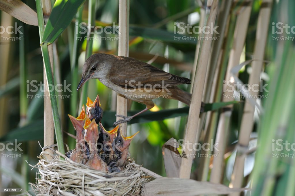 great reed warbler at the nest stock photo
