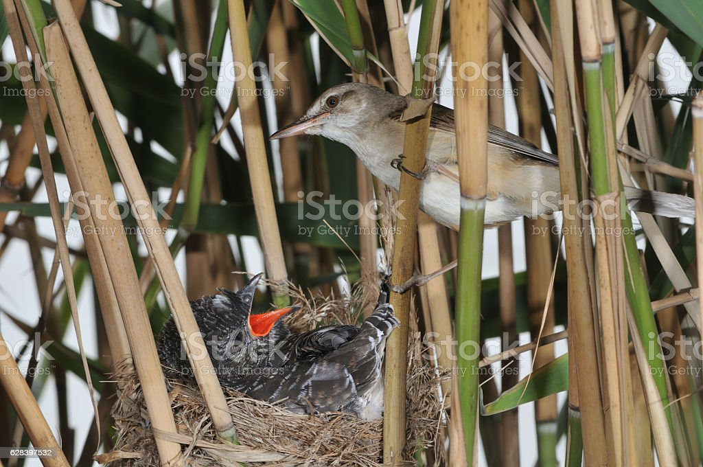 Great reed warbler with cuckoo stock photo