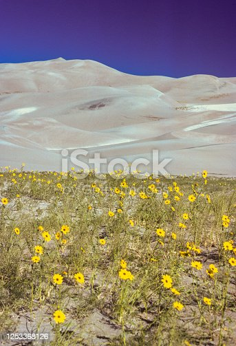 Great Sand Dunes NM - Dunes & Wildflowers - 1977. Scanned from Kodachrome slide.