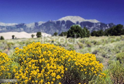 Great Sand Dunes National Park - Rabbit brush, August 1977.  Scanned from Kodachrome slide.
