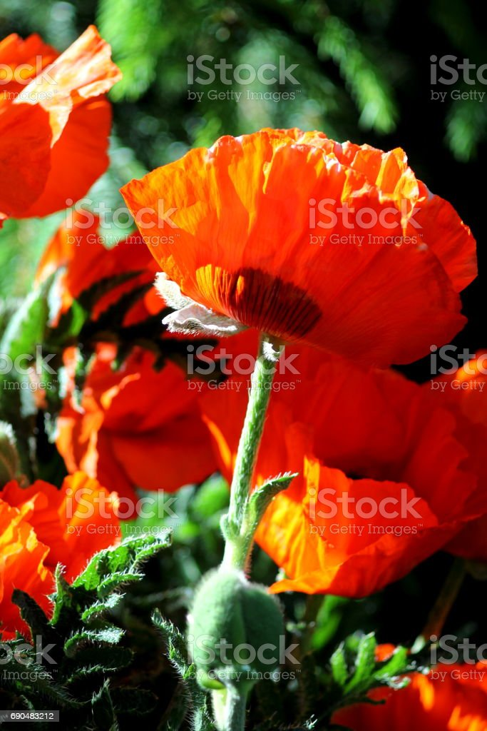 Great scarlett red poppies. stock photo