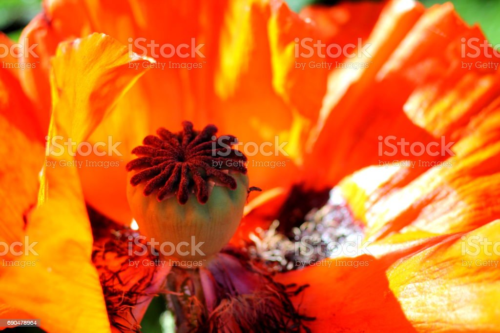 Great scarlett red poppy flower close up. stock photo