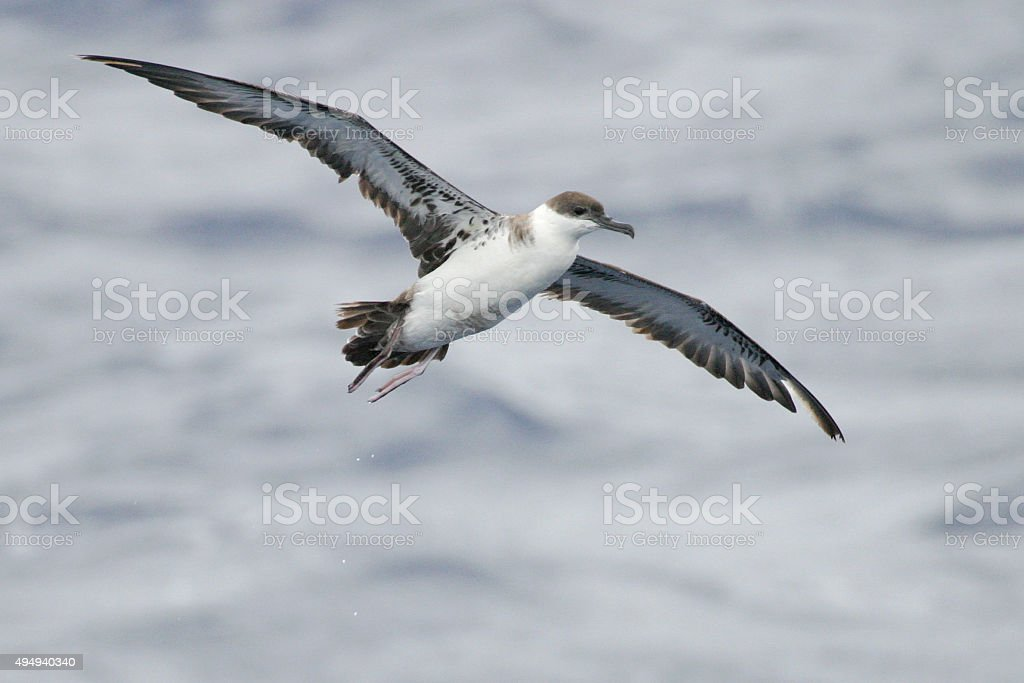 Great Shearwater, Ardenna gravis with spread wings stock photo