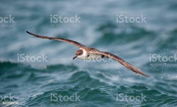 Great shearwater picture id842590230?b=1&k=6&m=842590230&s=612x612&h=vdbok8txlsmrapfkb6b dswpsbnce0xt jt6clf5t8y=