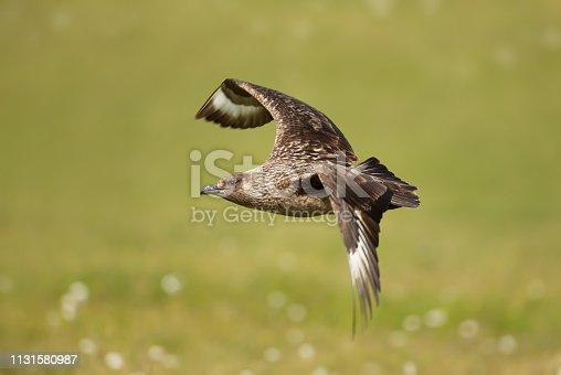 Close up of Great Skua in flight against green background, Shetland islands, UK.