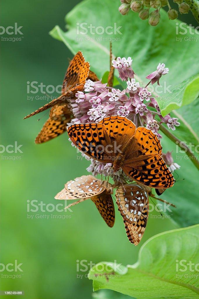 Great Spangled Fritillary Butterflies on Milkweed stock photo