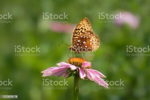 Great spangled fritillary butterfly on purple echinacea coneflower picture id1222629178?b=1&k=6&m=1222629178&s=612x612&h=biiukpzcloiu893rv0ei u3acclyqqwsu0jcunbye5y=