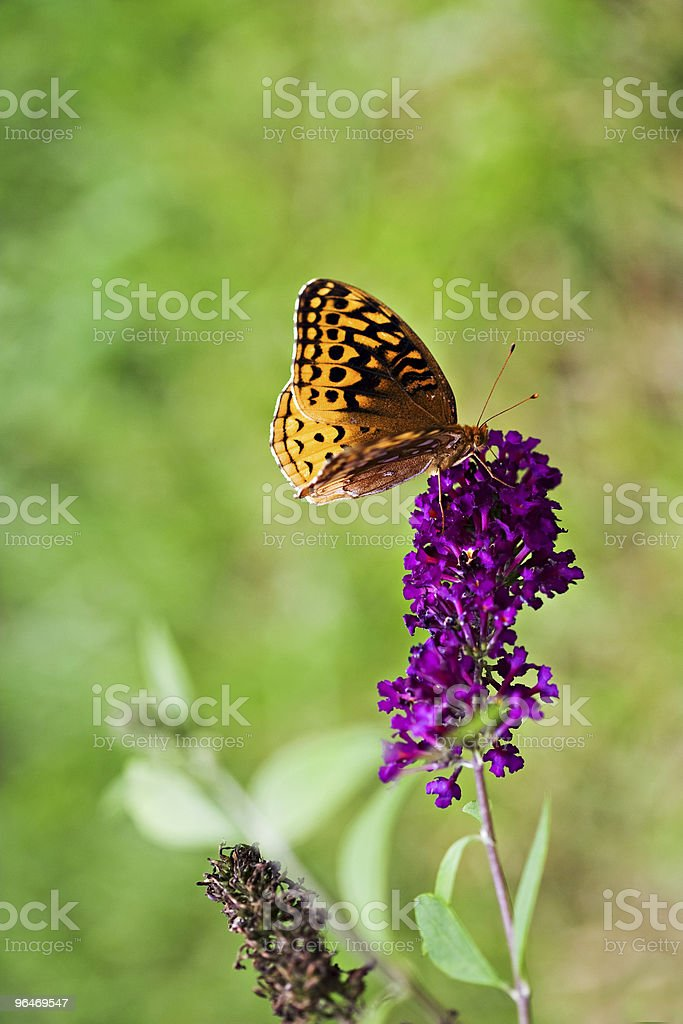 Great Spangled Fritillary Butterfly royalty-free stock photo