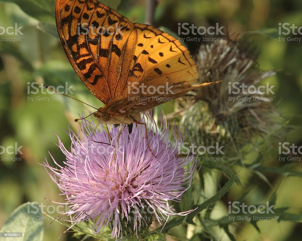 Great Spangled Fritillary2 royalty-free stock photo