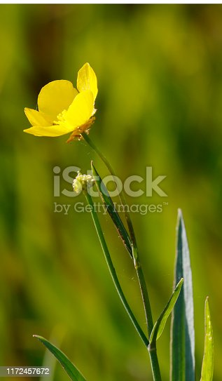 Medium to tall, robust, stoloniferous, hairless perennial, with erect hollow stems, often reddish. Basal leaves oval-heart-shaped, long stalked or unstalked, toothed. Flowers large, bright glossy yellow, 30-50mm, on long, branched stalks. Habitat: Marshy ground, fens, stream margins, pond an ditches, often growing in shallow water, on mineral-rich or organic, often calcareous soils. Flowering season: June-September. Distribution: Throughout Europe, except the Faeroes, Iceland and Spitsbergen.  This is an uncommon Species in the described Habitats in the Netherlands.
