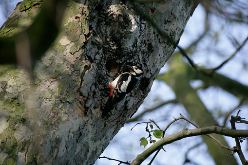 Great Spotted Woodpecker Dendrocopos major at nest in North Yorkshire, England, United Kingdom