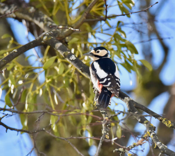 Great Spotted Woodpecker Dendrocopos major stock photo