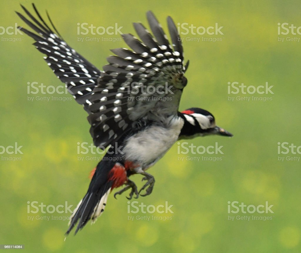 Great Spotted Woodpecker in flight royalty-free stock photo